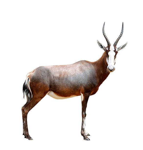 blesbok antelopes - blesbok stockfoto's en -beelden