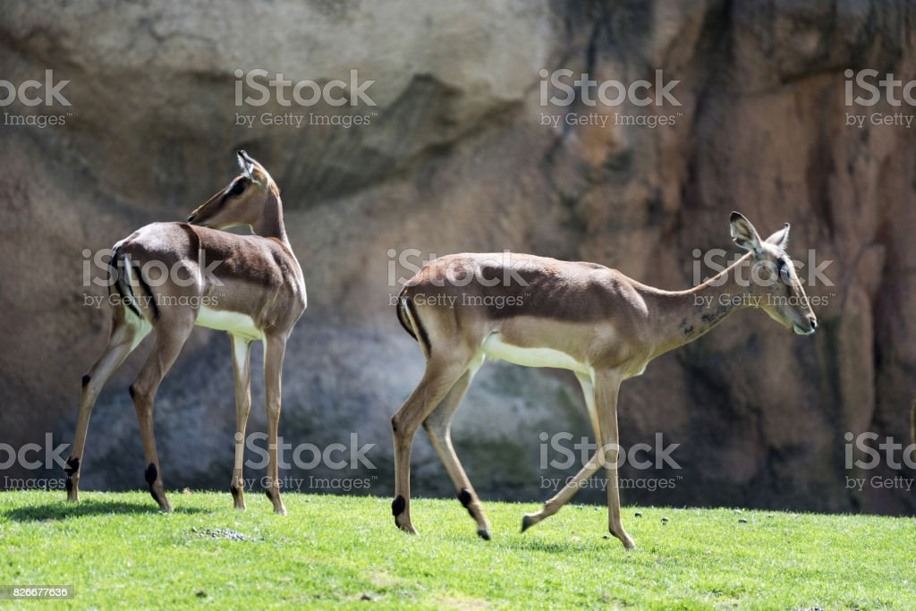 Blesbok in Nature stock photo