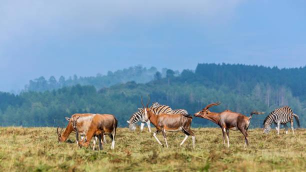 blesbuck en gewone zebra's in mlilwane wildlife sanctuary, swaziland - blesbok stockfoto's en -beelden
