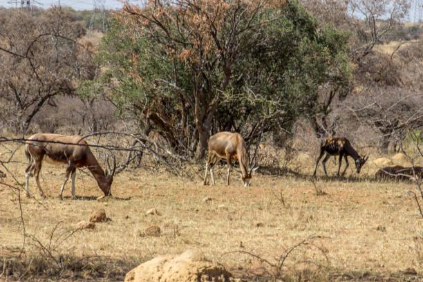 blessbok op het korte gras te grazen - blesbok stockfoto's en -beelden