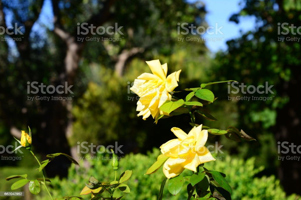 Blühende Rose - Spanien royalty-free stock photo