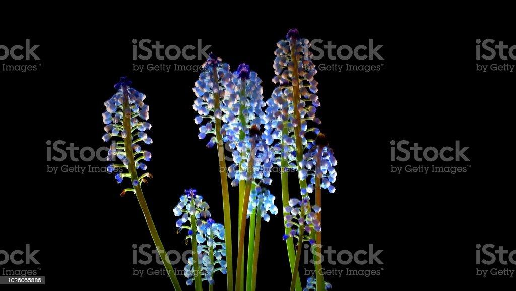 Blühende Traubenhyazinthen - Lizenzfrei Blume Stock-Foto
