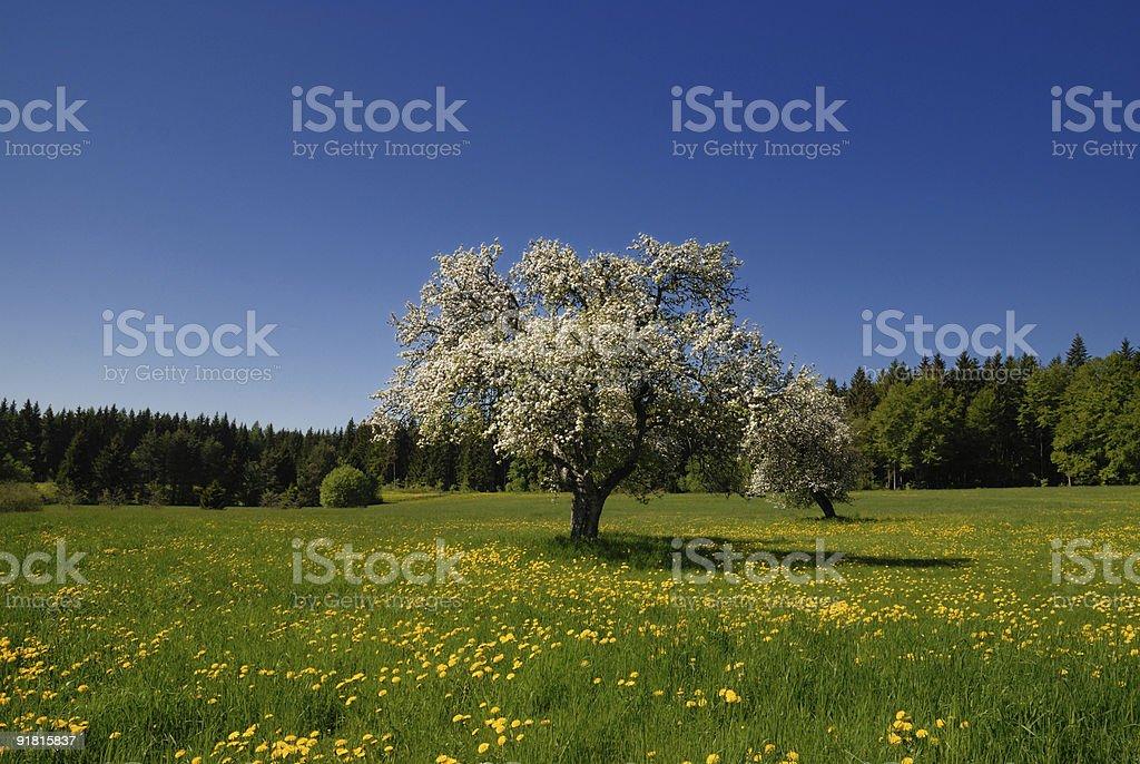 blühender Apfelbaum royalty-free stock photo