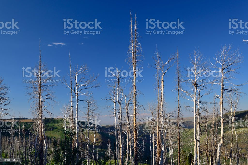 Blighted Aspens Clone stock photo