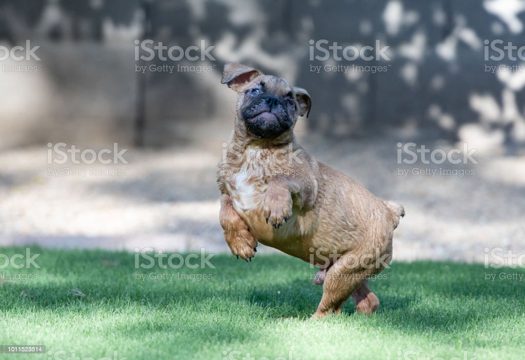 Blind bulldog puppy jumping stock photo