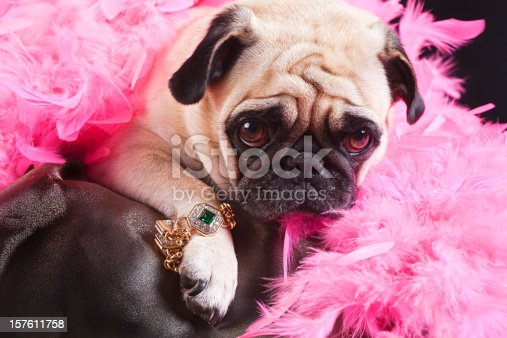 Puk Pukster the Pug is displaying her new piece of bling. (