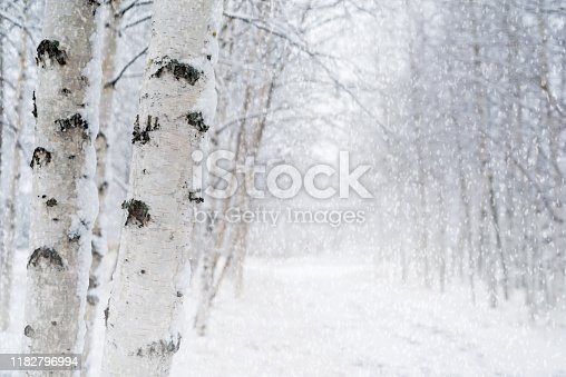 Winter landscape with snowy birch trees in the park.