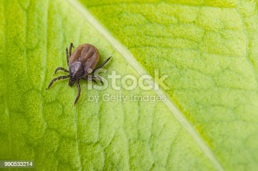 istock Bloated deer tick on a green leaf background. Ixodes ricinus 990533214