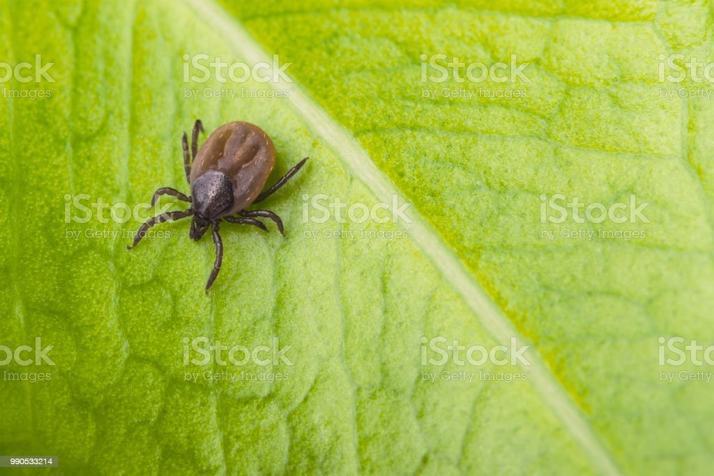 Bloated deer tick on a green leaf background. Ixodes ricinus stock photo