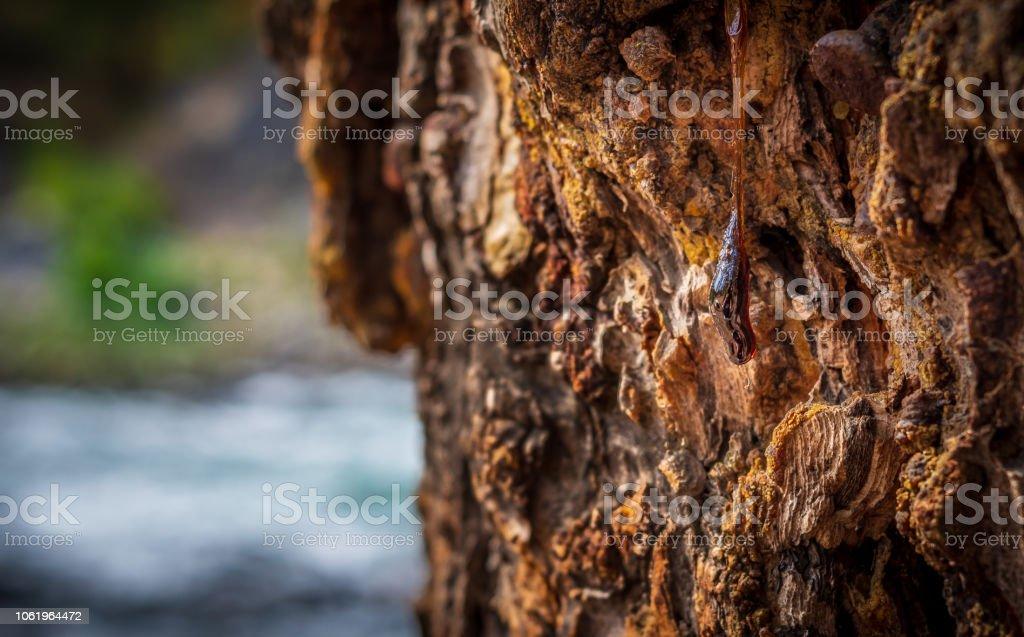 Blob of sap stock photo