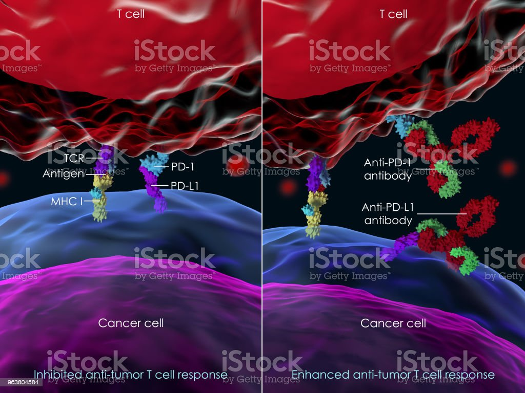 Blocking PD-1 to enhance T cell antitumor activity stock photo