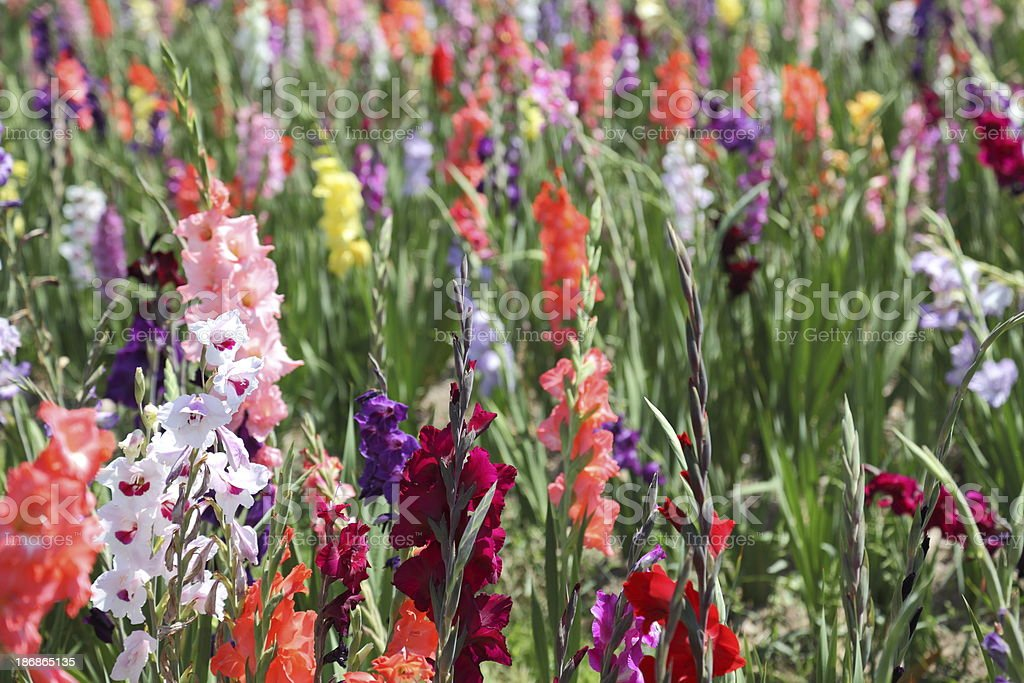 bloming gladiolus field royalty-free stock photo