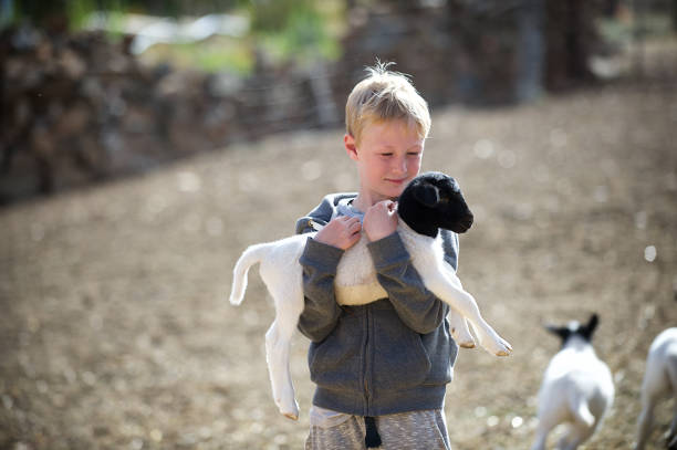 Blond Boy Holding and Hugging Lamb An 8-year-old Caucasian boy hugging a lamb in a sheep pen on a sheep farm Koo Valley Montagu Klein Karoo Western Cape South Africa lamb animal stock pictures, royalty-free photos & images