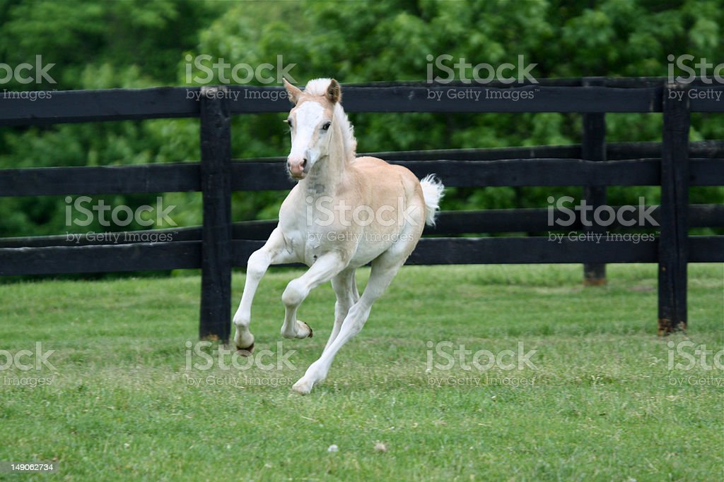 Blond filly on the run royalty-free stock photo