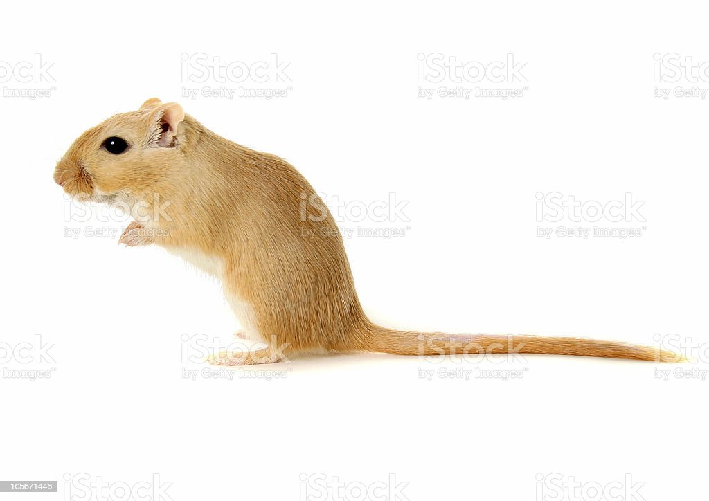 Blond Gerbil standing on rear feet stock photo
