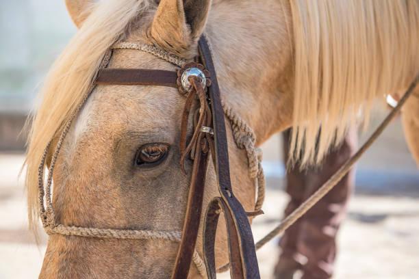 ein blondes pferd mit blonde mähne - pferdezeitschrift stock-fotos und bilder