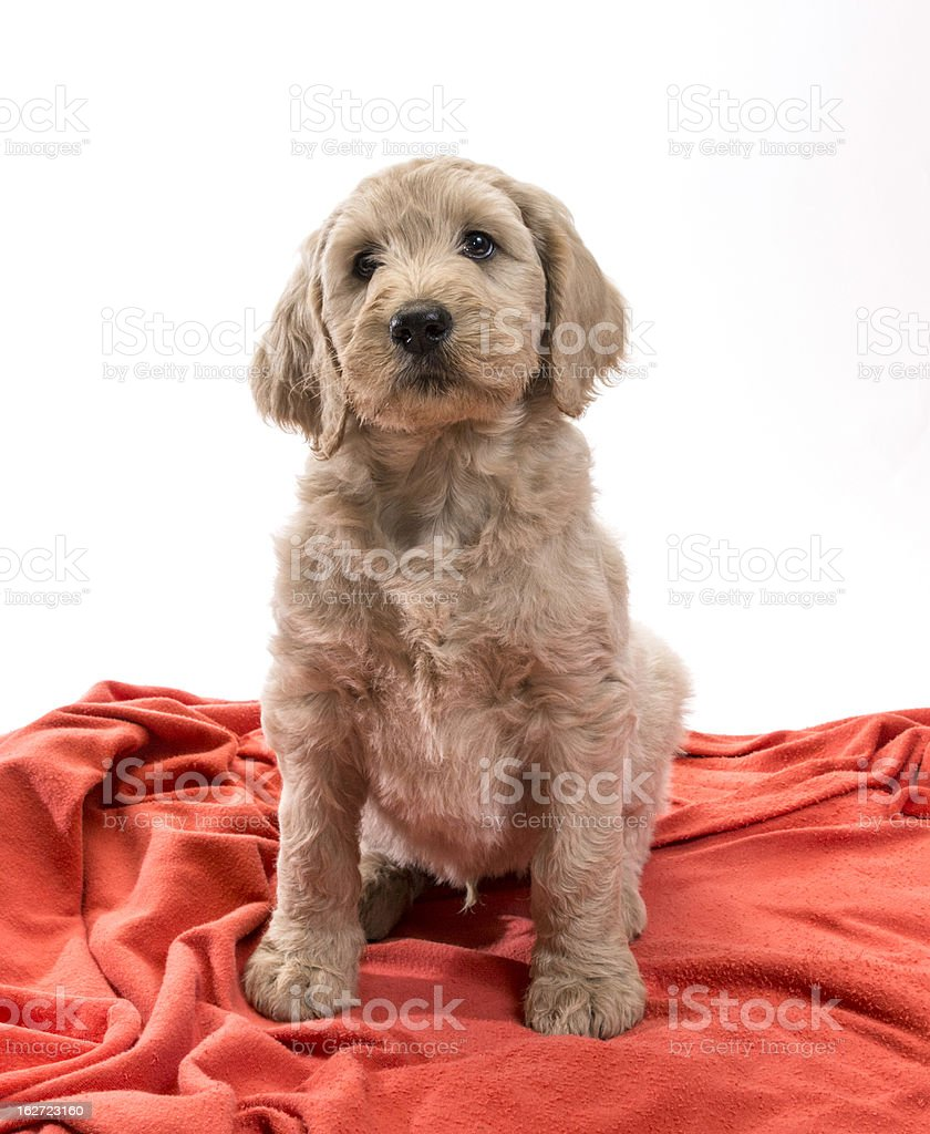 Blond Labradoodle royalty-free stock photo