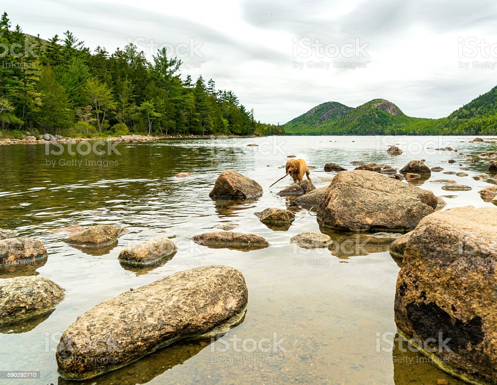 Blonde Dog Plays Fetch in Beautiful Pond royaltyfri bildbanksbilder