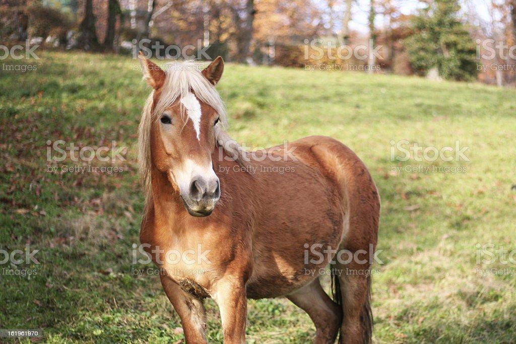 Blonde horse royalty-free stock photo