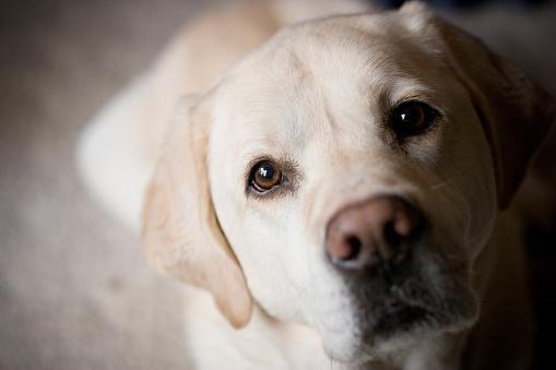 Blonde Labrador Retriever Looking at Camera Room for Copy