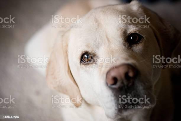 Blonde labrador retriever looking at camera room for copy picture id615600530?b=1&k=6&m=615600530&s=612x612&h=dmnqzdb4wwt 32jhj5mt1cvbzicaehq1yqogvbe5rlm=
