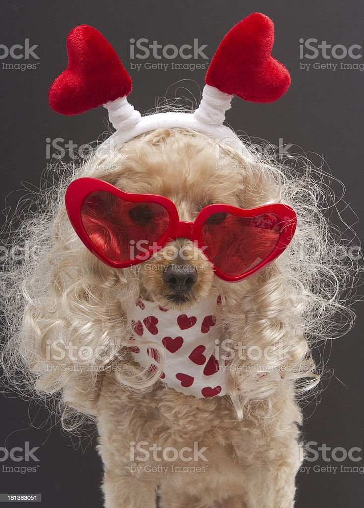 Blonde Poodle with Hearts royalty-free stock photo