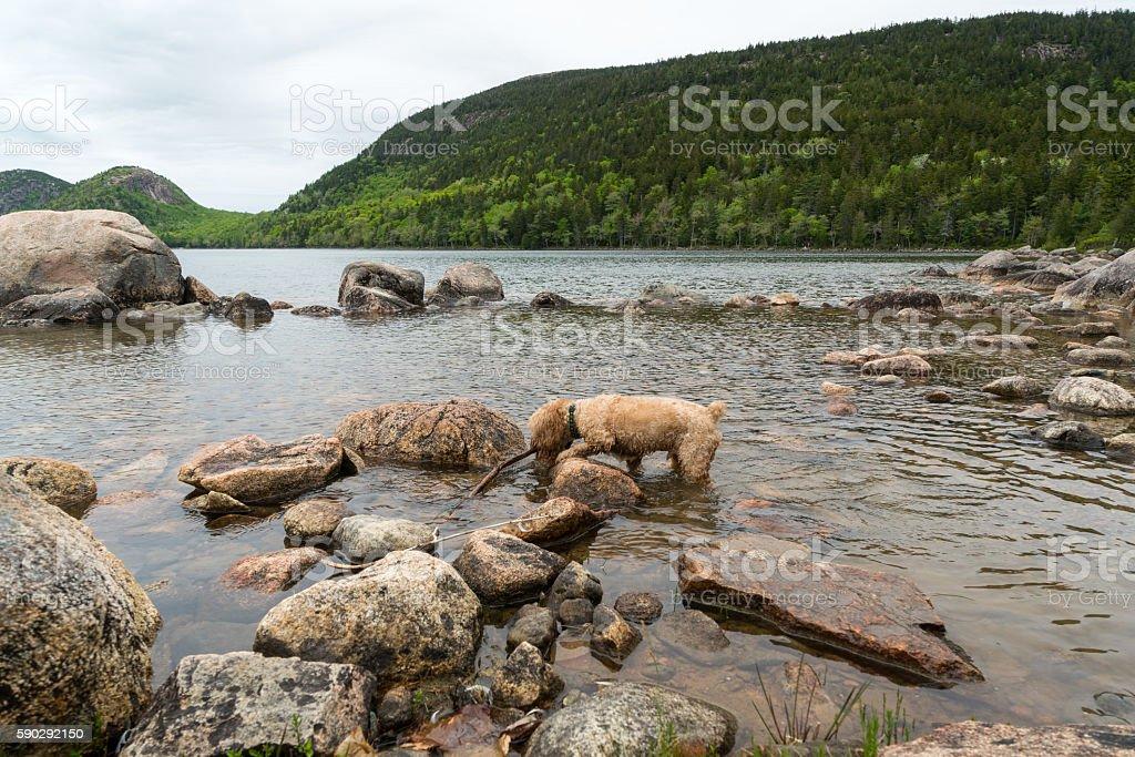 Blonde Puppy plays in Pond Water royaltyfri bildbanksbilder