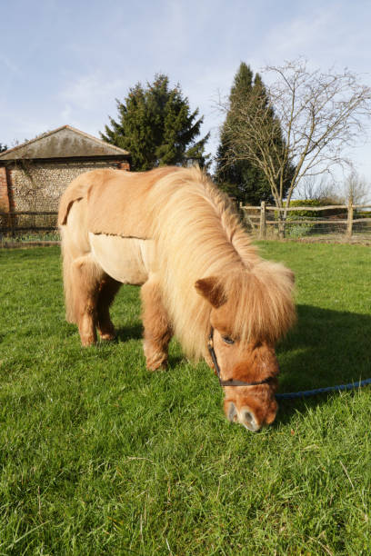 blonde shetland pony grzing in paddock - whiteway pony stock photos and pictures