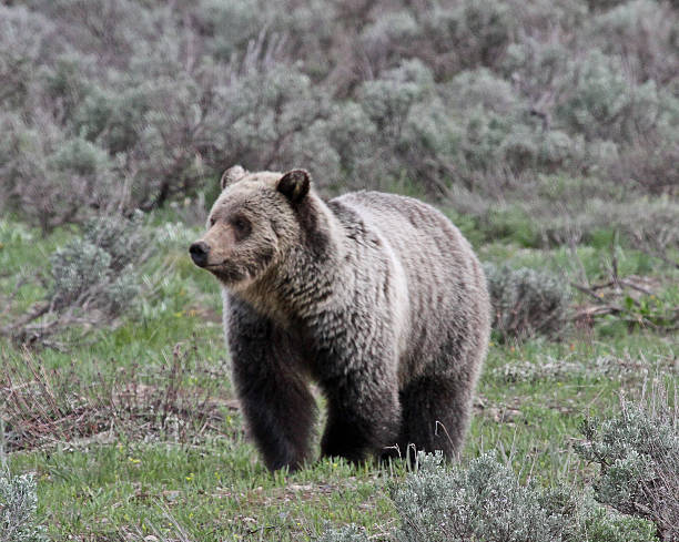 Blondie the Grizzly Bear stock photo