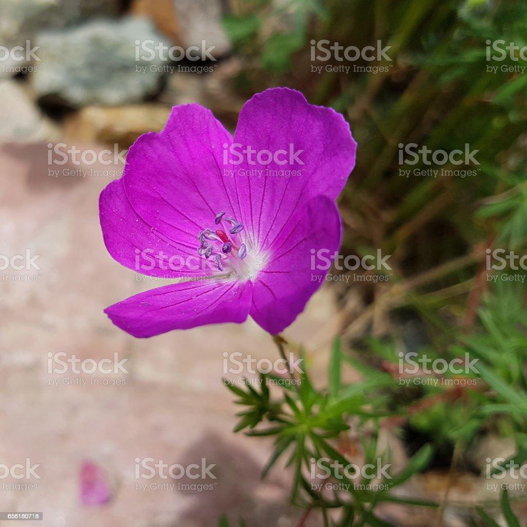 Blood geranium; Geranium; sanguineum stock photo