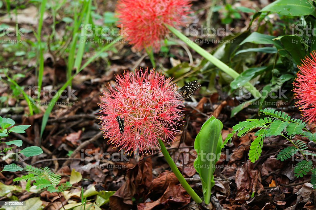 blood lily flower with butterfly stock photo