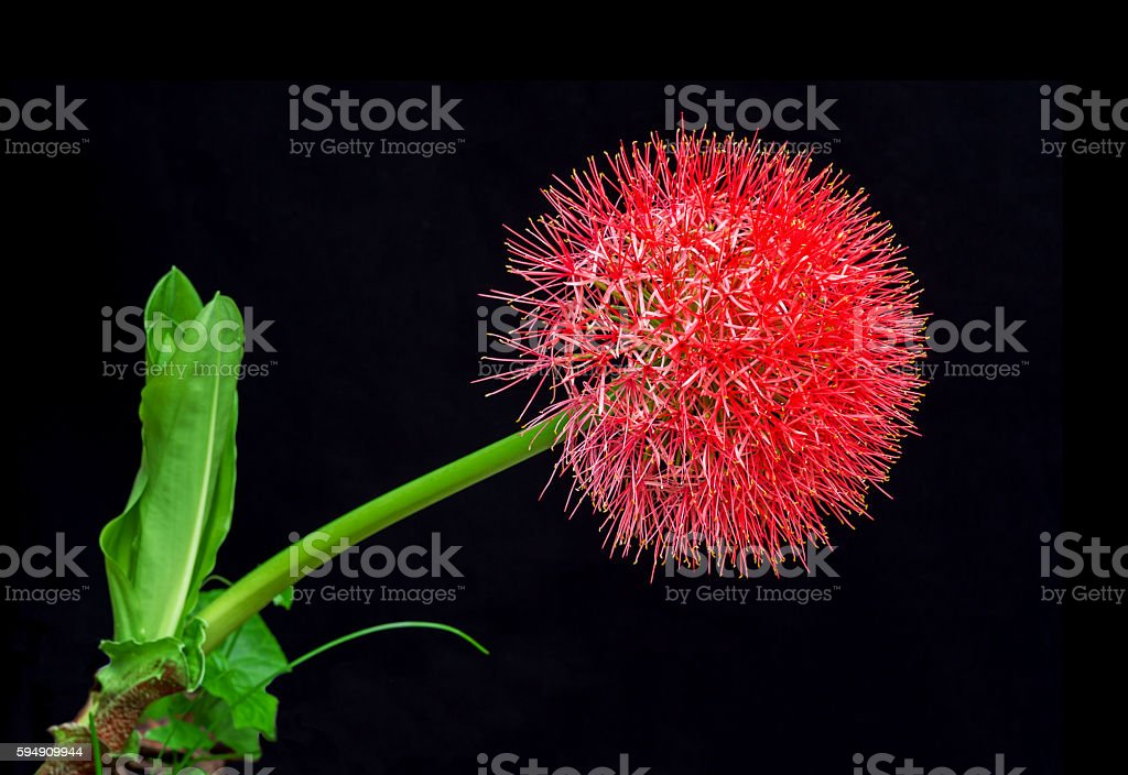 Blood lily or fireball lily stock photo