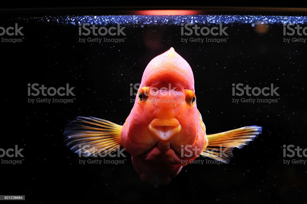 Blood parrot cichlid stock photo