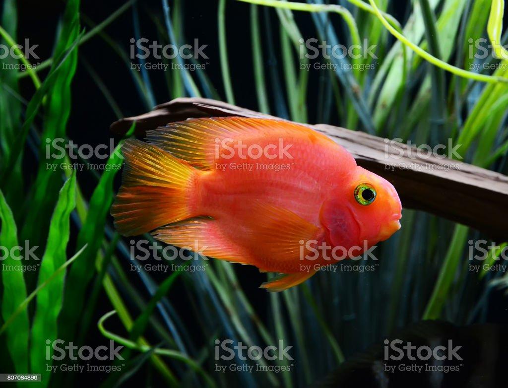 Blood parrot cichlid stock photo