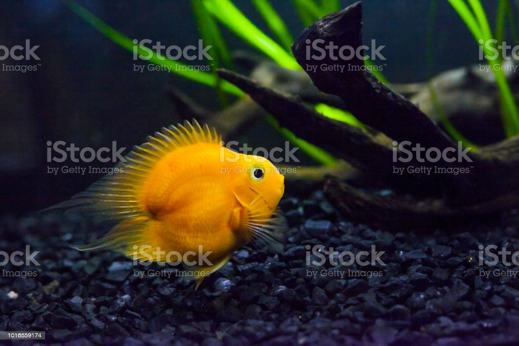 Blood parrot cichlid yellow fish in aquarium stock photo