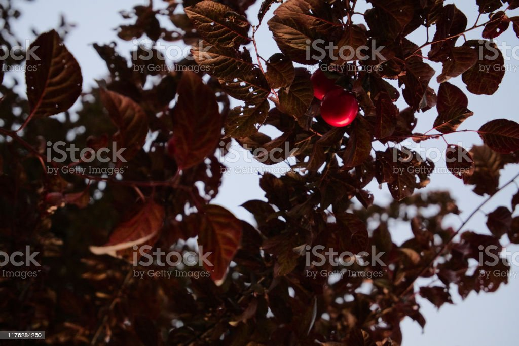 Blood Plum Or Black Cherry Plum Hanging Down From A Bracnh Of The