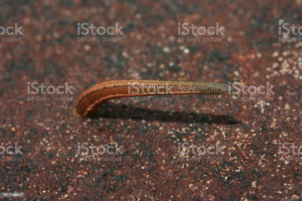 blood sucker leech slowly moving on cement floor stock photo