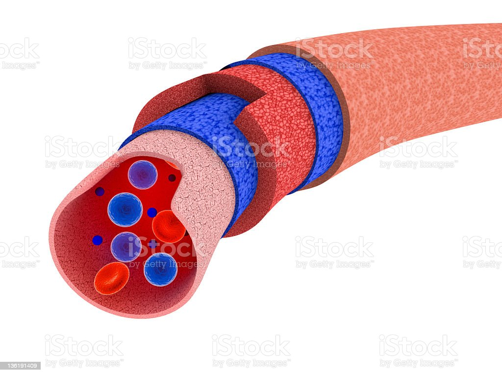 Blood vessel cross section stock photo