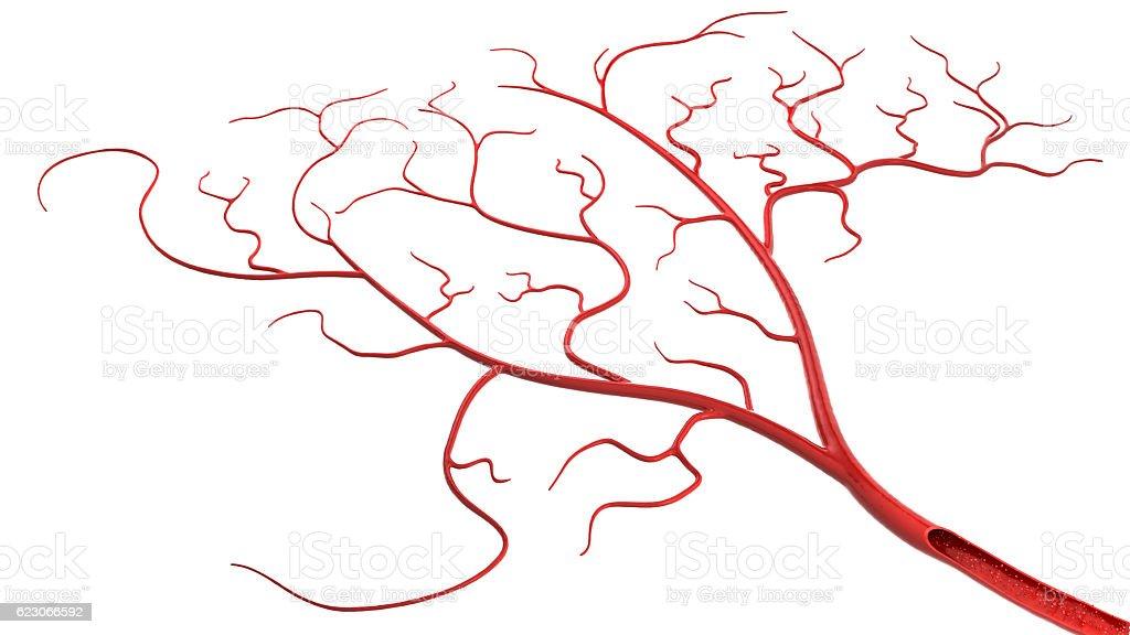 blood vessel stock photo