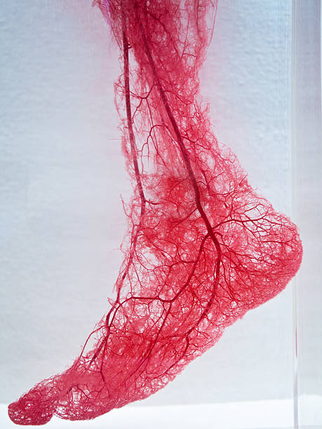 Blood Vessels of foot stock photo