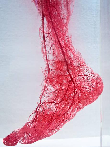 blood vessels of foot - bloedvat stockfoto's en -beelden