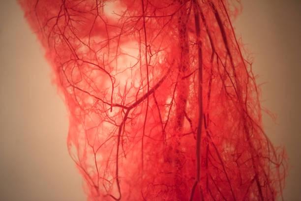 bloedvaten van menselijke been - bloedvat stockfoto's en -beelden