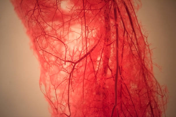 Blood Vessels of human leg stock photo