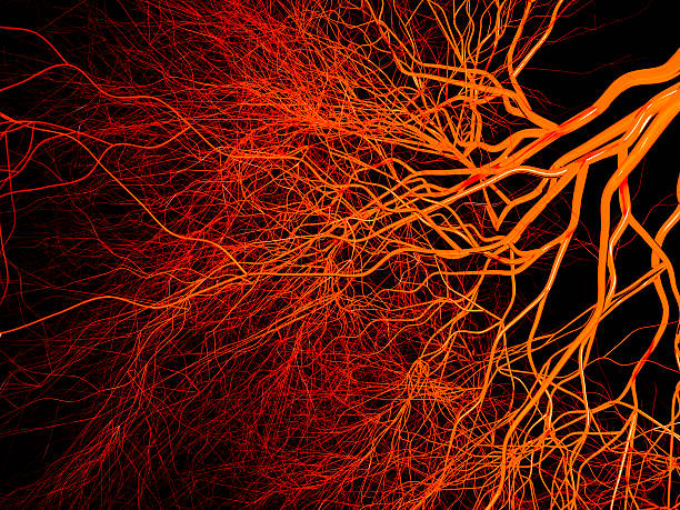 blood vessels - cardiovascular system stock photos and pictures