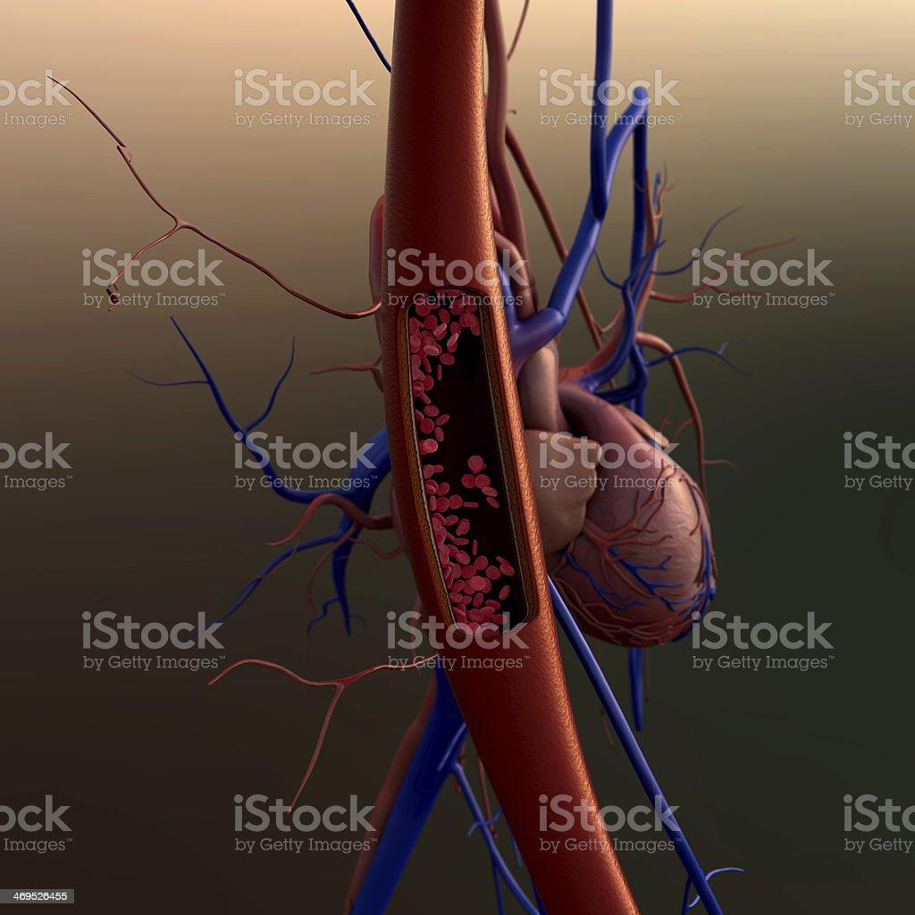 blood vessels stock photo