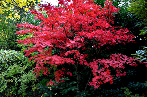 Bloodgood backdrop of a Japanese garden. It is a taller shrub of air habit. thicken the crown to create a relatively compact habitus.   the leaves are deep red, usually seven-lobed, do not change color during the season and remain deeply colored until aut