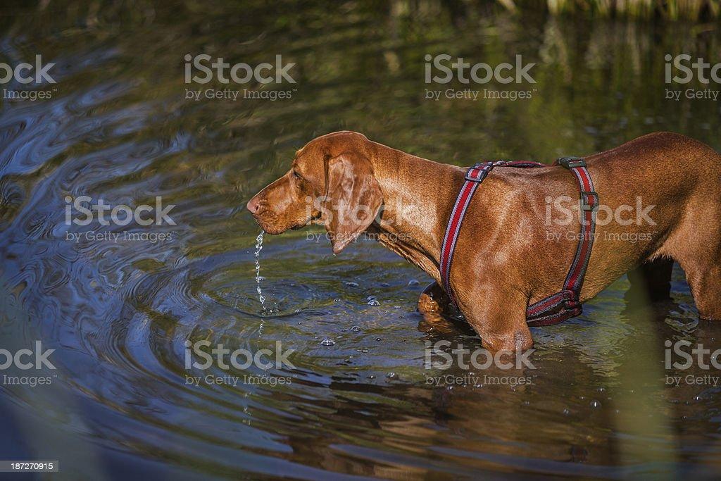 Bloodhound Dog royalty-free stock photo