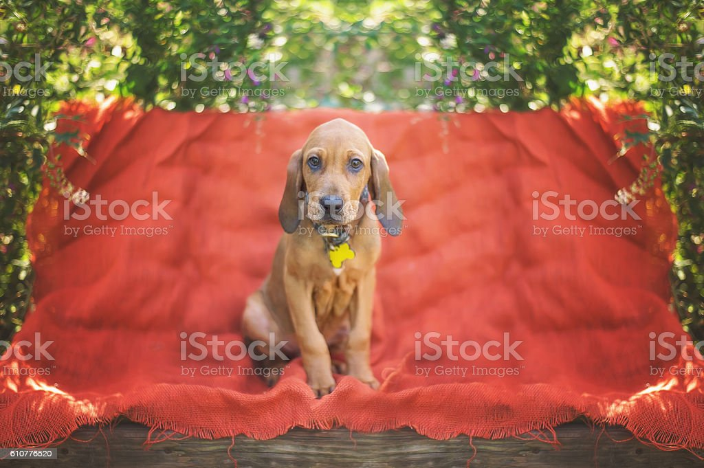 Bloodhound Mix Puppy stock photo