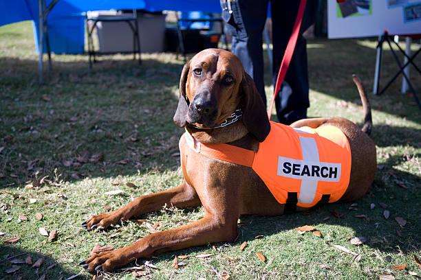 Bloodhound stock photo