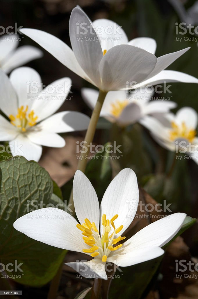 Bloodroot Flowers royalty-free stock photo